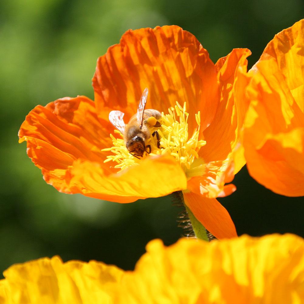 Foto Biene auf Blüte - Honig vom Imker Vogt aus Bad Münder
