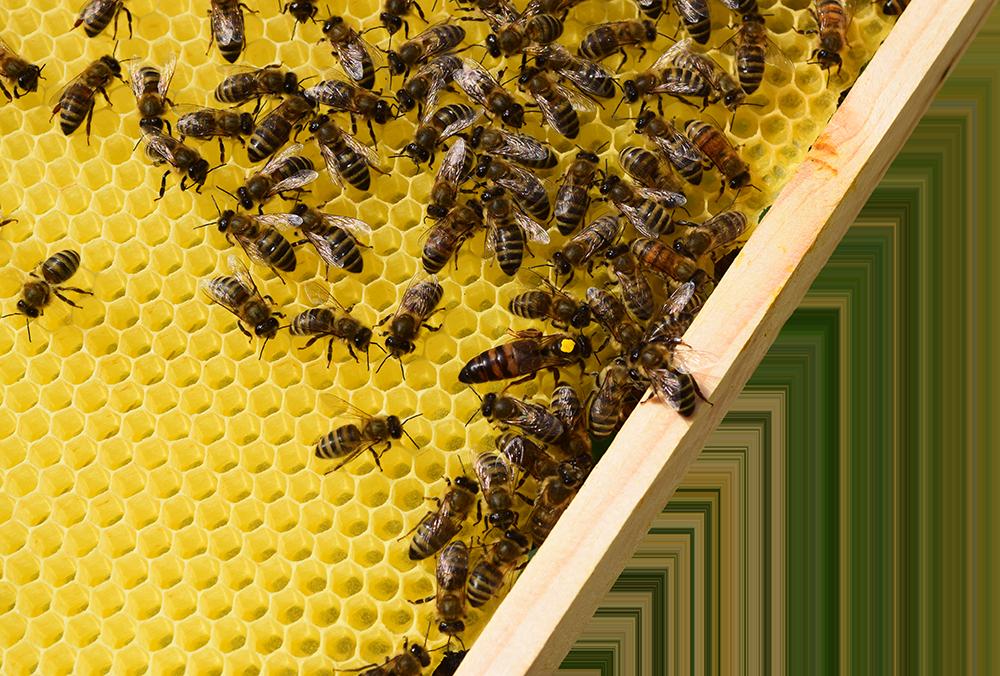 Foto Bienenwabe - Honig vom Imker